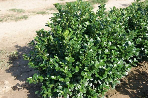 Prunus laurocerasus 'Josa'